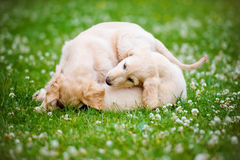 Two afghan hound puppies playing outdoors Royalty Free Stock Photography