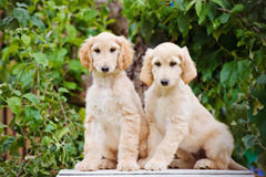 Two afghan hound puppies sitting together Stock Photography