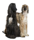Two Afghan hounds, 1 and 2 years old Royalty Free Stock Image