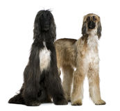 Two Afghan hounds, 1 and 2 years old Stock Photography