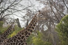 Two African adult giraffes walking during the day. The giraffe Giraffa is a genus of African even-toed ungulate mammals, the tallest living terrestrial animals Stock Photo
