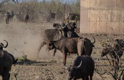 Two African Buffalo Bulls locking horns royalty free stock images