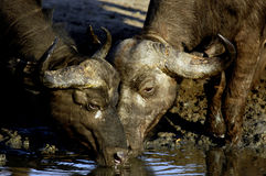 Two African buffaloes drinking. These two African buffaloes were drinking at dawn. Kruger National Park. South Africa stock photo