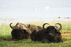 Two african buffalos lying in grass Royalty Free Stock Photos