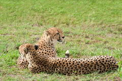 Two African Cheetahs lying on the grass. Two cheetahs lying on the grass. Cheetah (Acinonyx jubatus) is a large-sized feline inhabiting most of Africa and parts Stock Image