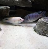 Two Aquarium Fish Kissing. Two African Cichlid fish kissing each other. Cichlid`s are also known to `dance` face to face while establishing dominance Stock Photos