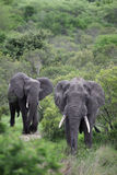 Two African elephant. Adult males with tusks going Royalty Free Stock Images