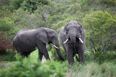 Two African elephant. Adult males with tusks in a waterhole Royalty Free Stock Photography
