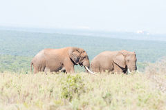 Two African Elephant bulls Royalty Free Stock Image