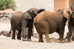 Two African Elephant Stock Photography