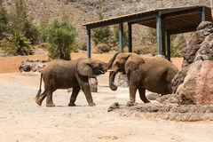 Two African Elephant bulls play-fighting Royalty Free Stock Photos