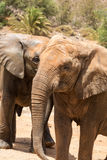 Two African Elephant bulls play-fighting Royalty Free Stock Photo