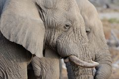 Two african elephant heads, etosha nationalpark, namibia. Two african elephant heads, portraits , etosha nationalpark, namibia, loxodonta africana Stock Photography