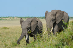 Two African elephants. Walking together and munching some branches in the bushland of the Masai Mara in Kenya Royalty Free Stock Photography