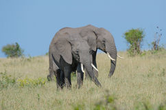 Two african elephants. Walking together and munching some branches in the bushland of the Masai Mara in Kenya Royalty Free Stock Photos