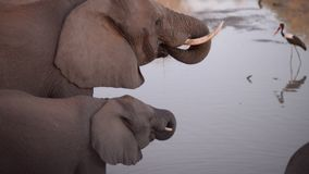 Two African Elephants, adult and baby, drinking water from river. Side view, close up stock video footage