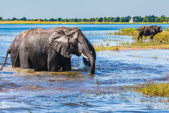 Two African elephants. Chobe National Park in Botswana. Watering in the Okavango Delta. Two African elephants crossing river in shallow water. The concept of royalty free stock images