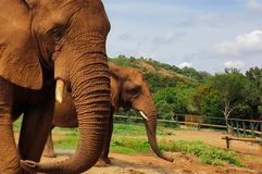 07 Two African Elephants close encounter sanctuary royalty free stock images