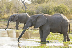 Two African elephants drinking water, South Africa (Loxodonta af. Two Bull elephants drinking water from a natural pan in Kruger Park, South Africa, (Loxodonta royalty free stock photo
