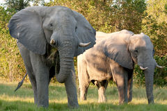 Two African Elephants Eating Stock Image