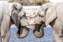 Two african elephants face to face in Etosha National Park, Namibia Royalty Free Stock Photos