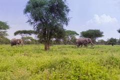 Two African Elephants. Grazing in the Serengeti Stock Photo