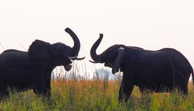 Two African ELephants greeting each other with their trunks in the air. Two Afranc elephants greeting each other with their trunks in the air, nearly touching stock photos