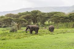 Two African Elephants. Male and female on the grass in Ngorongoro Crater, Ngorongoro Conservation Area, Tanzania. Africa. African elephants are more famous for stock photo