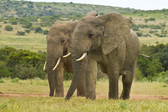 Two African elephants relaxing Stock Photography