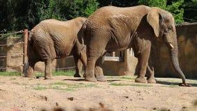Two african elephants slow side walking, stock video