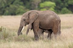 Two African elephants standing in the grasslands Masai Mara, Kenya royalty free stock image