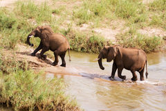 Two African elephants wading through a river Stock Photo