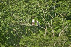 Two African Fish Eagle, like our American Bald Eagle, sittng on tree branch Greater St. Lucia Wetland Park World Heritage Site, St Stock Photos