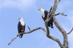 Two African Fish Eagles. Haliaeetus vocifer. Selous Game Reserve, Tanzania, Africa. The Selous was designated a UNESCO World Heritage Site in 1982 Royalty Free Stock Photos