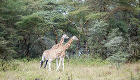 Two African giraffe in the meadows of the savannah Stock Images