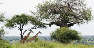 Two African giraffe in the meadows of the savannah stock photo