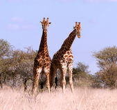 Two African Giraffes. Couple of African giraffes - male and female -in savannah bush in Polokwane Nature Reserve in Limpopo Province, South Africa Stock Images