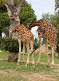 Two African Giraffes with long neck eats Royalty Free Stock Photography