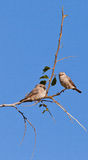 Two African Grey Flycatcher on a twig Royalty Free Stock Images