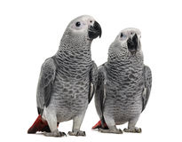 Two African Grey Parrot (3 months old) Royalty Free Stock Photos