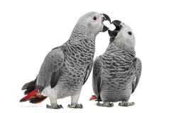 Two African Grey Parrot (3 months old) pecking. Isolated on white royalty free stock photos