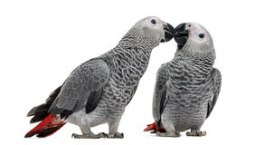 Two African Grey Parrot (3 months old) pecking. Isolated on white royalty free stock photography