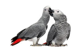 Two African Grey Parrots (3 months old) pecking Stock Photos