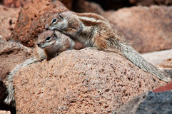 Two African Ground Squirrels Stock Image