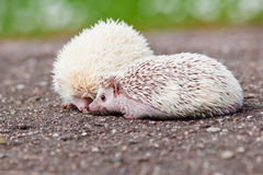Two african hedgehogs Royalty Free Stock Photo