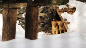 Two African lion cub near his cave at the zoo stock video footage