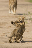 Two African Lion cubs (Panthera leo) in South Africa stock photos