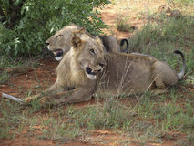 Two african lions. Wild african lions mombasa safiri Stock Image