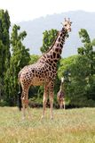 Two african origin giraffe together in a jungle Stock Photos