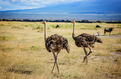 Two African Ostrich birds in Kenya stock images
